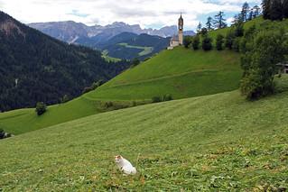 Cat in meadow. La Val. Südtirol. Dolomiti.