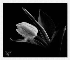 Flower No. 1536 (Knipser31405) Tags: flowers bw blumen tulpe 2014 mygearandme mygearandmepremium mygearandmebronze mygearandmesilver mygearandmegold mygearandmeplatinum mygearandmediamond