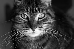 Saori (melanie.rayna) Tags: blackandwhite animals cat chat animaux saori vision:outdoor=0855 vision:sky=053