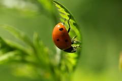 (shmarinuma) Tags: red green beetle ladybird ladybug   shmarinuma  inbalrnakash