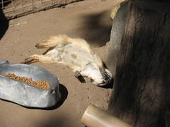 "MEERKAT 180_182 (Dancing with Ghosts Graphics) Tags: copyright cute animal mammal meerkat pups small gang mob 180 clan mongoose angola sentry suricate burrows suricatta desert"" diurnal 2013 fawncolored herpestid iteroparous ""kalahari dwgg ""namib debbrawalker feliform dancingwghosts ""suricata suricatta"" ""botswana"" oraging siricata"" majoriae"" iona"""