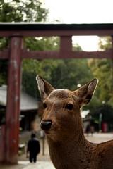 IMG_0968 (KarintoPlusjp) Tags: animals japan  nara