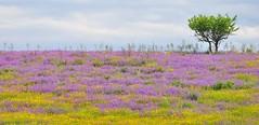 Colors of Sardinia (giotto2009) Tags: sardegna flower nature colors landscape sardinia colore fiori colori paesaggio treesubject