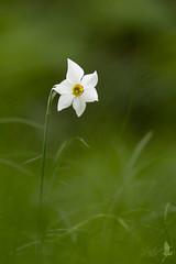 Narciso selvatico (_milo_) Tags: italy flower verde green fleur canon eos italia bokeh vert tamron fiore bianco narciso oasi 70300 angera narcissuspoeticus 60d brushera