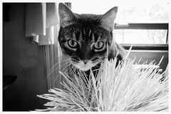 cat grass (omoo) Tags: newyorkcity bw cats grass cat apartment interior tabby westvillage greenwichvillage wheatgrass catgrass oldgrass bwphotograph dscn5770 catsgrass countrycatthatnowliveinthecity