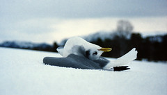 Frozen to death (Ib Aarmo) Tags: winter snow cold bird death frozen seagull freeze blast