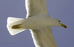 Gaviota (recorte) (AlmaMurcia) Tags: nikon gaviota pájaro vuelo tabarca d7000 almamurcia fotoencuentrosdelsureste 29salida