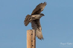 Prairie Falcon takes flight