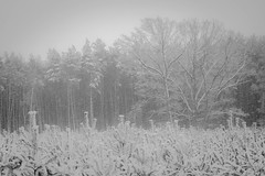 Blizzard (nerths) Tags: trees bw white snow forest woods scenery snowy gray scene blizzard