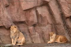 Afrikaanse leeuw - Panthera leo leo - African Lion (MrTDiddy) Tags: snow male female cat caitlin mammal big kat feline leo african sneeuw lion bigcat grote nestor leeuw panthera mannelijk zoogdier afrikaanse grotekat rouwelijk