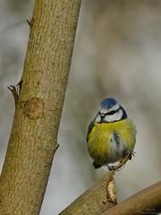 Blue tit (pawel.wojnowski) Tags: blue nikon tit apo f56 telemacro d300s af400