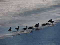 Canada Geese on the South Saskatchewan River (miggsgreene) Tags: canada river geese south saskatchewan