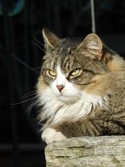 Cat eyes (Tomasi Mirko) Tags: cat pussy cateyes gatto varese pussycat occhidigatto occhiverdi eyesgreen cc4000 cc2900 cc3000 cc5000 cc6000 cc8000 cc7000 cc11000 cc9000 cc10000 cc25000 cc20000 cc15000 cc18000 allnaturesparadise tomasimirko cc23000