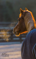 Frosty morning (APGougePhotography) Tags: horse detail sc sunrise nikon bravo frost south southcarolina clarity carolina polo aiken topaz denoise topazlabs aikencounty topazdenoise d5100 topazdetail topazclarity