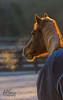 Frosty morning (APGougePhotography) Tags: horse detail sc sunrise nikon bravo frost south southcarolina clarity carolina polo aiken topaz denoise topazlabs aikencounty topazdenoise d5100 topazdetail topazclarity