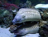 Murènes (2) (Mhln) Tags: paris aquarium requin poisson trocadero poissons meduse 2015 cineaqua