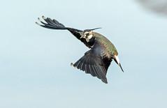 DSC_6530 Lapwing (jefflack Wildlife&Nature) Tags: nature birds wildlife ngc npc wetlands lapwing waders avian kidwelly waterbirds wildbirds