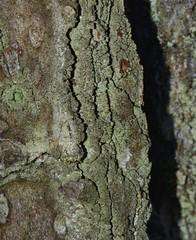 Trapeliopsis flexuosa (nss12166) Tags: lichen lichens arabiamountain dekalbcountyga trapeliopsisflexuosa