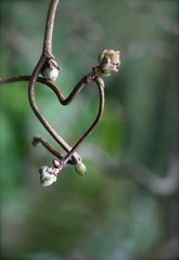 Happy Valentines (early because i will be on holiday!) (GinelliGino) Tags: tree stem bush heart hazel valentines corkscrewhazel