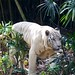 """White Tiger • <a style=""""font-size:0.8em;"""" href=""""http://www.flickr.com/photos/128593753@N06/16510827596/"""" target=""""_blank"""">View on Flickr</a>"""