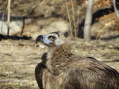 Cinereous Vulture (Patricia Henschen) Tags: zoo vulture denverzoo citypark denvercolorado cinereous