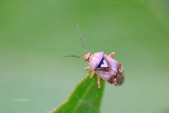 Travnika stenica (natalija2006) Tags: nature bug slovenia slovenija tarnished pratensis plantbug miridae heteroptera lygus narava cimicomorpha stenica stenice travnika travnike