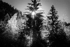 lumire (Luberon (sb)) Tags: bw soleil stucture contrejour sapins