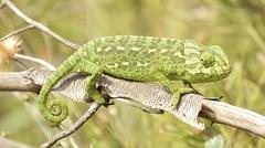 IMG_8738 (Sula Riedlinger) Tags: portugal nature reptile wildlife algarve chameleon riaformosa chamaeleochamaeleon portugalnature mediterraneanchameleon commonchameleon portugalwildlife