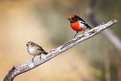 small bird series: a pair of red-capped robins (Fat Burns  (gone bush)) Tags: bird robin fauna queensland redbird australianbird smallbird barcaldine australianfauna redcappedrobin petroicagoodenovii lagooncreek nikond750 sigma150600mmf563dgoshsmsports sigmateleconvtc1401nik