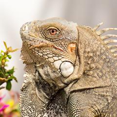 Iguana iguana (caropho) Tags: animal closeup iguana caribbean curaao karibik lagun