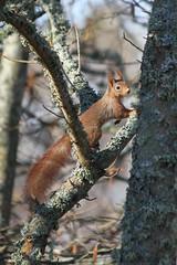 Sciurus vulgaris (ravinghearts) Tags: red squirrel ekorre vulgaris sciurus