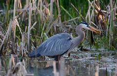 Fish for Breakfast (Plummerhill) Tags: morning fish heron spring greatblueheron atterbury
