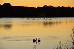 Swans swimming together (Luke6876) Tags: trees sunset bird water animal swan dam wildlife swallow blackswan australianwildlife tenterfield welcomeswallow