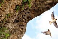 cliff swallows (laurie_frisch) Tags: park cliff birds state nest iowa swallow kepler swallows palisades nests fledging