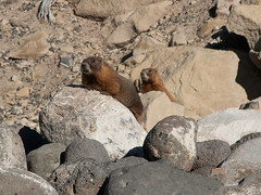 Marmots (Ken Barber) Tags: wildlife marmot yellowbellied marmota flaviventris
