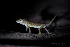 Middle Eastern Short-fingered Gecko Stenodactylus doriae (MP7Aquit) Tags: sonya7ii sonya7mk2 sonyalpha7mark2 sonyalpha7ii a7ii 7ii 7mk2 sonyilce7m2 animal animaux fe 90 f28 g oss fe90f28macrogoss sonyfesonyfe2890macrogoss objectifsony90mmf28macrofe sel90m28g sony alpha reptile lizard lzard trip 2016 iran herp herping gekko gecko middle eastern shortfingered stenodactylus doriae middleeasternshortfingeredgecko stenodactylusdoriae