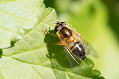 Epistrophe eligans / Enkele-bandzweefvlieg (peter.lindenburg) Tags: leiden hoverfly syrphidae zweefvlieg epistropheeligans stevenshof enkelebandzweefvlieg