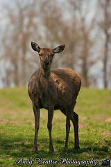 2016-05-04-024 (Andy Beattie Photography) Tags: uk england nature mammal photography europe photographer wildlife yorkshire deer halifax ungulate reddeer northyorkshire westyorkshire ripon eventoed pecora cervuselaphus hoofed andybeattie andybeattiephotography