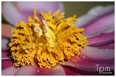 Staubbltter/Stamina und Fruchtbltter/Karpelle von Peony (t1p2m3) Tags: flower fleur peony blume pivoine paeonia stamina staubbltter mu fruchtbltter n karpelle