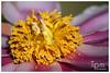 Staubblätter/Stamina und Fruchtblätter/Karpelle von Peony (t1p2m3) Tags: flower fleur peony blume pivoine paeonia stamina staubblätter mẫu fruchtblätter đơn karpelle