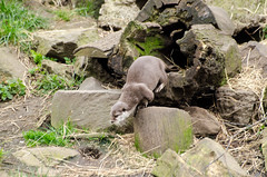 2016.03.23 - 1322.43 - NIKON D7000 - 96 (bigwhitehobbit) Tags: 2016 edinburghzoo family march otter