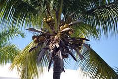 DSC_4748 (shutterbugss) Tags: ocean beach nikon paradise resort palmtrees jamaica tropical negril riupalace riu riutropicalbay nikond90 riupalacetropicalbay