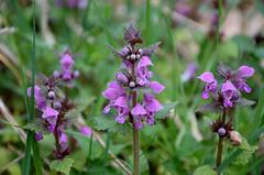 Taubnessel (Friederich Rieber) Tags: flower pflanze blume blte kraut lamium deadnettle taubnessel lippenbltler