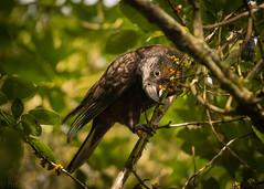 Kaka (hmxhm) Tags: newzealand bird nature wildlife olympus wellington kaka aotearoa zealandia