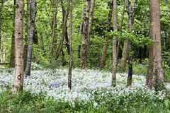 A carpet of wild garlic (Frank Fullard) Tags: wood ireland irish food white cooking nature forest botanical smell garlic mayo botany herb culinary turlough forage odour castlebar wildgarlic foraging fullard ramsoms frankfullard herbcarpet