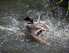 Seeing off a rival (Fuhirees) Tags: uk summer london swimming duck wildlife automatic barnes wwt chasing splashing 2016 londonwetlandscentre sigma150500mmf563dgoshsm