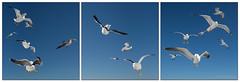 The seagull Project (Hans Kool) Tags: bird birds ferry three seagull pass zee kind partout meeuw texel drie teso zeemeeuw drieluik