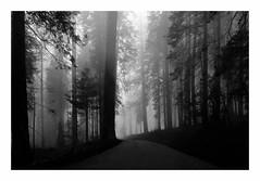 Sequioa National Park (Joe Franklin Photography) Tags: trees blackandwhite bw mist fog nationalpark sierranevada sequoia sequoianationalpark sanjoaquinvalley joefranklin almostanything treesinthemist wwwjoefranklinphotographycom