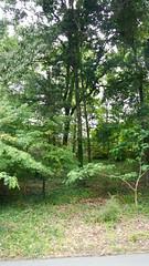 DSCN1432 (VerlynC) Tags: tree falling hickory