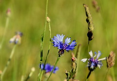 Cornflowers (eowina) Tags: flowers nature meadow cornflowers